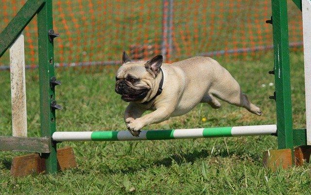 pes co skáče přes překážky